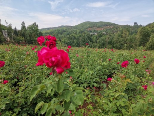 宣威市羊场镇陈湾村:玫瑰花俏开出幸福致富道