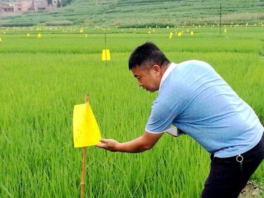 宣威市:推进水稻病虫害绿色防控融