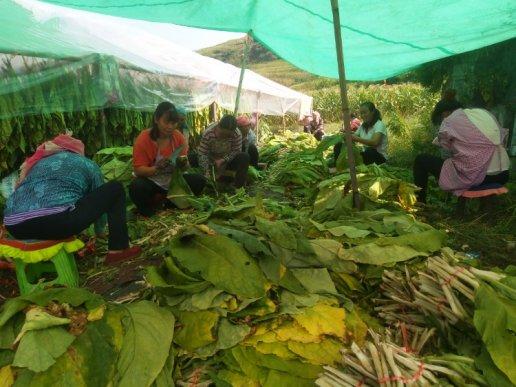 宣威双河乡:旱烟收成好  农户增收有