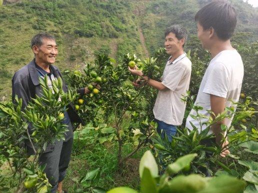 文兴乡白药村柑橘产业:群众增收致