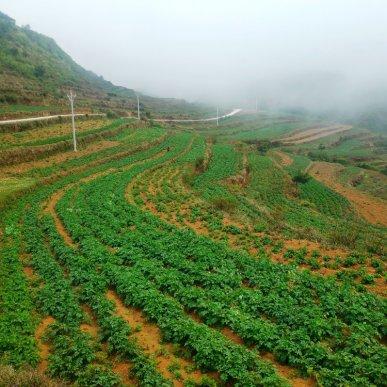 宣威宝山马铃薯长势喜人,种植户增收在望