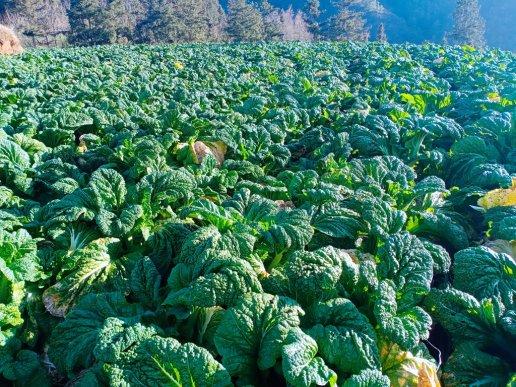宣威宝山:彝族村干酸菜滞销,帮帮