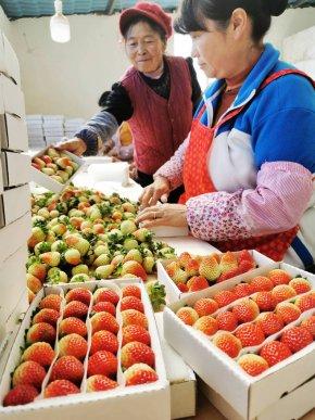 """宣威市宝山镇安益村里的""""莓""""好时"""