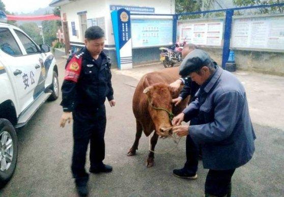 宣威:黄牛受惊集市狂奔 警民联手将