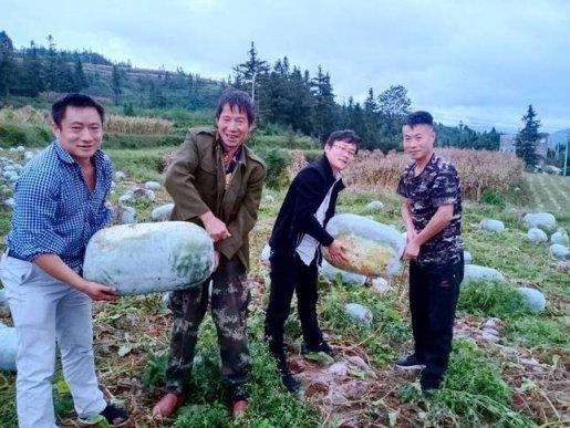 宣威市宝山镇:山地冬瓜喜获丰收 个头不是一般的大