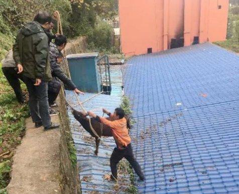 宣威一头黄牛奔跑,一脚踩空跌在房顶上
