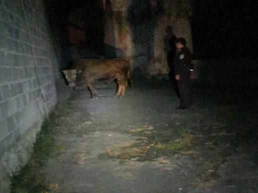 宣威一黄牛离家,途中偶遇民警