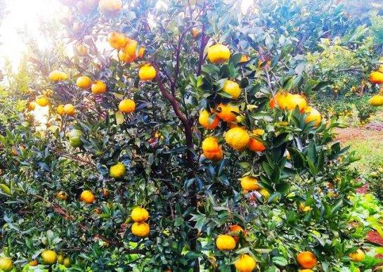 宣威双河乡:柑橘成熟 满园芳香