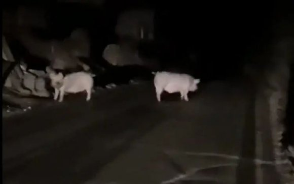 宣威两只猪夜半三更出来散步