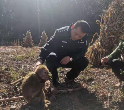 宣威一猕猴肚子饿了,偷偷下山找吃的