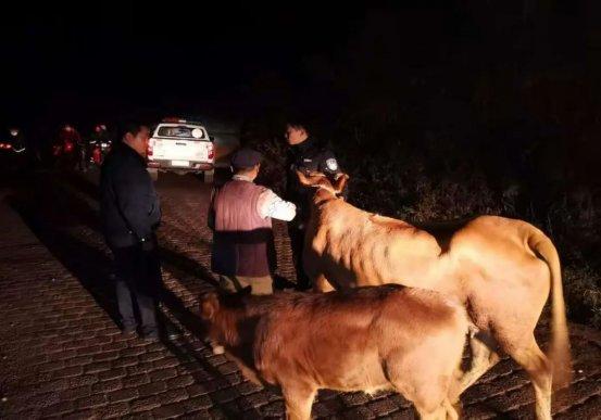 宣威民警开展行动路上偶遇离家牛母