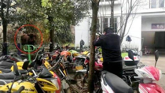 宣威:疯牛伤人毁物 民警果断开枪击