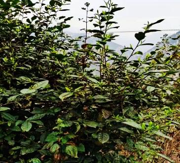 宣威市普立乡戈特村努力将茶产业打