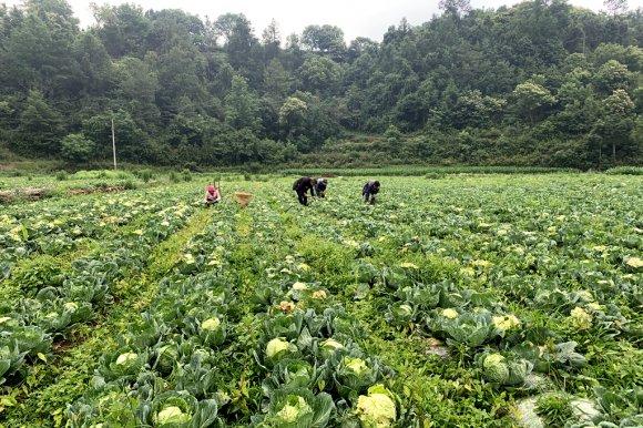 宣威龙潭镇:多元化种植助农增收