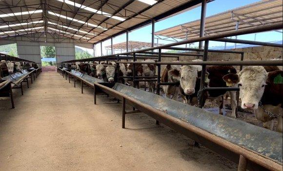 规模化养殖 科学化管理 西泽乡肉牛养