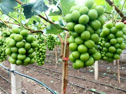 宣威来宾街道:阳光玫瑰葡萄产业助