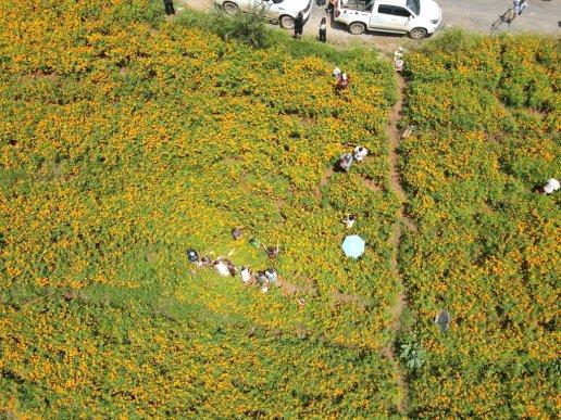 宣威市杨柳镇围仗村:万寿菊种植拓