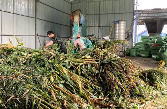 宣威宝山镇:青贮饲料种植实现种养